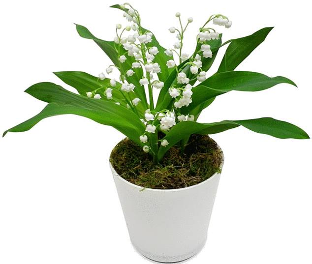 planter et replanter le muguet