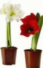 Les amaryllis tout pratique for Arrosage des amaryllis