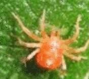 Araign es rouges tout pratique - Remede contre les araignees ...