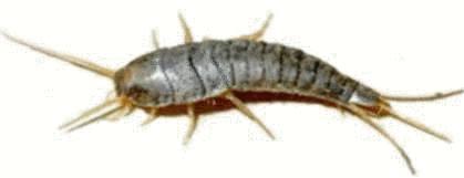 Insecte humidit salle de bain arthropodes antenattes ou for Poisson d argent salle de bain