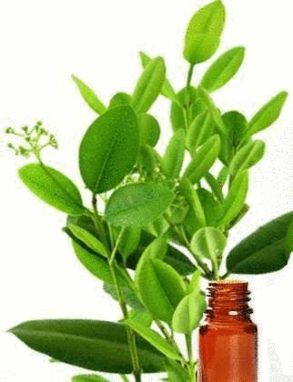 angine huile essentielle ravintsara
