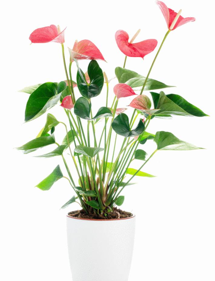 une anthurium rose en pot