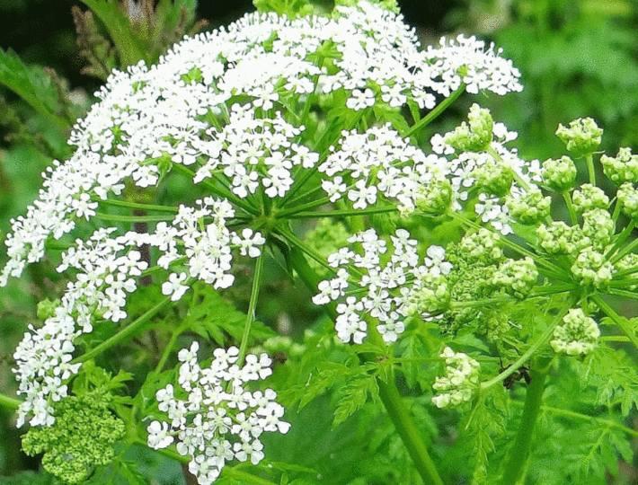 cigue une plante très toxique dans le jardin