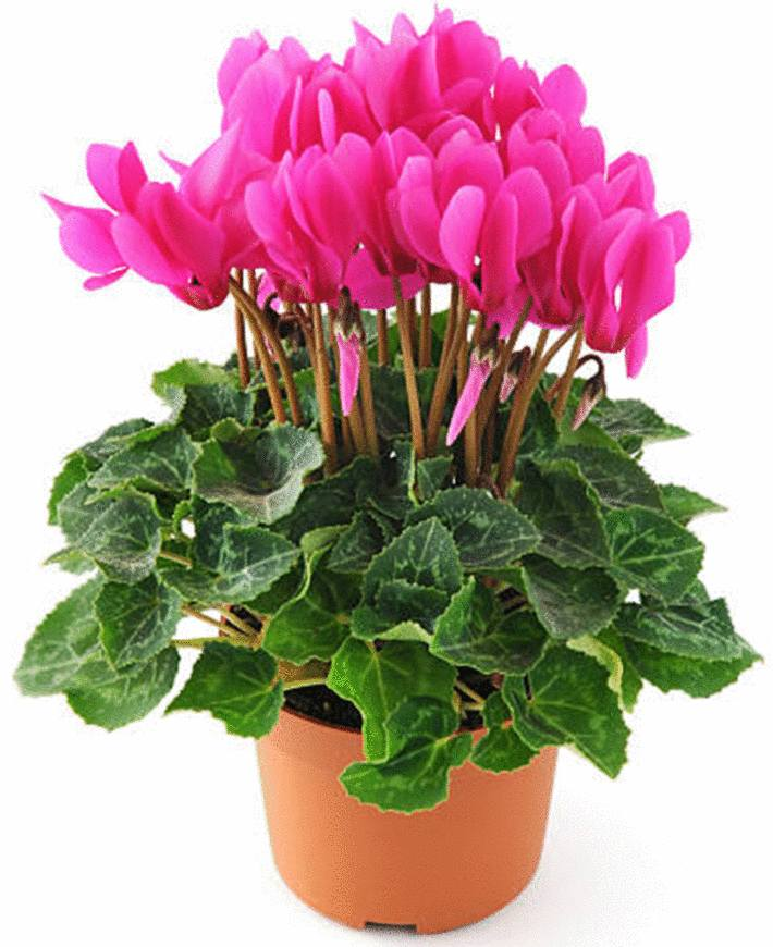 un cyclamen rose vif en pot