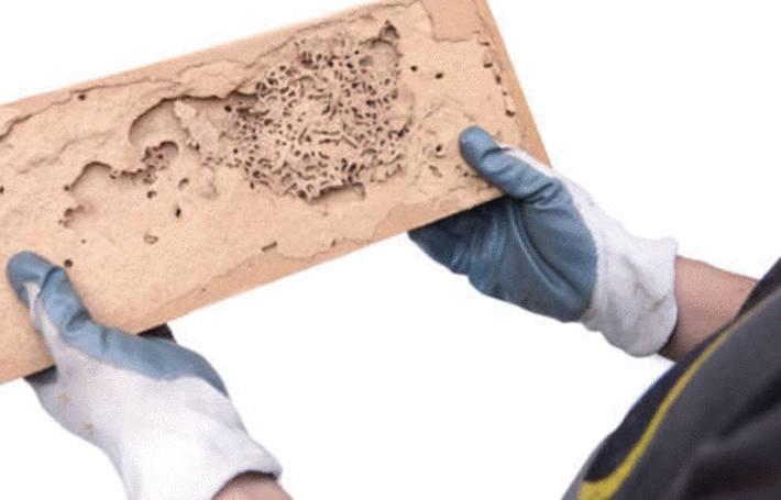 des mains protégées par des gants de plastique montre un morceau de bois rongé par des insectes