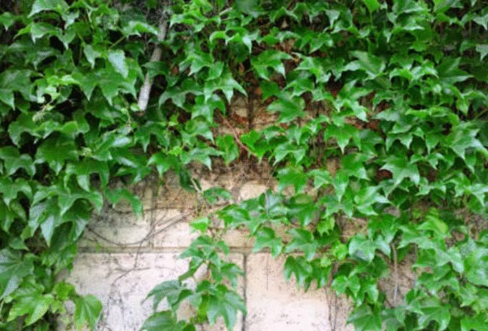 lierre grimpant plante dangereuse enfant, chat et chien