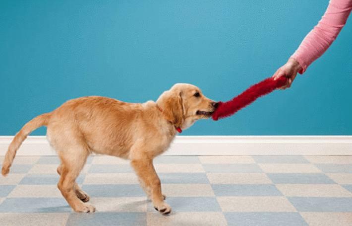 sur du lino, un maitre tire son chien qui a du faire une tache