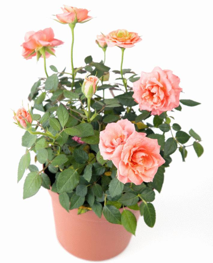 un beau rosier nain rose en pot