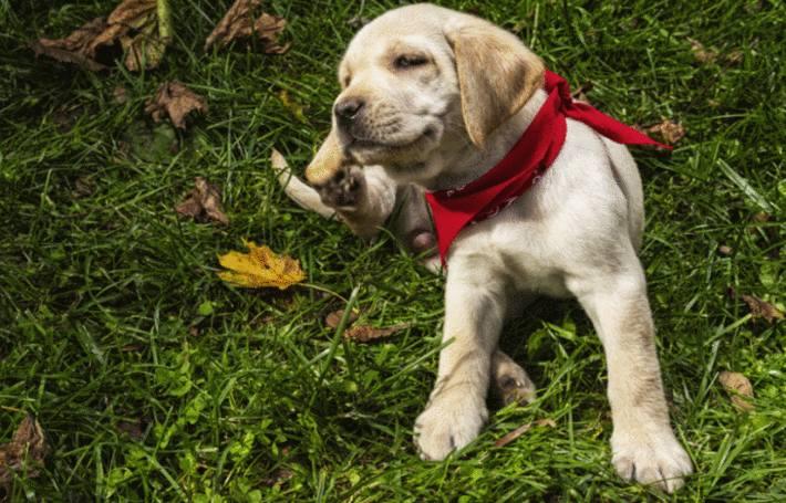un chiot labrador qui se gratte l'oreille dans l'herbe