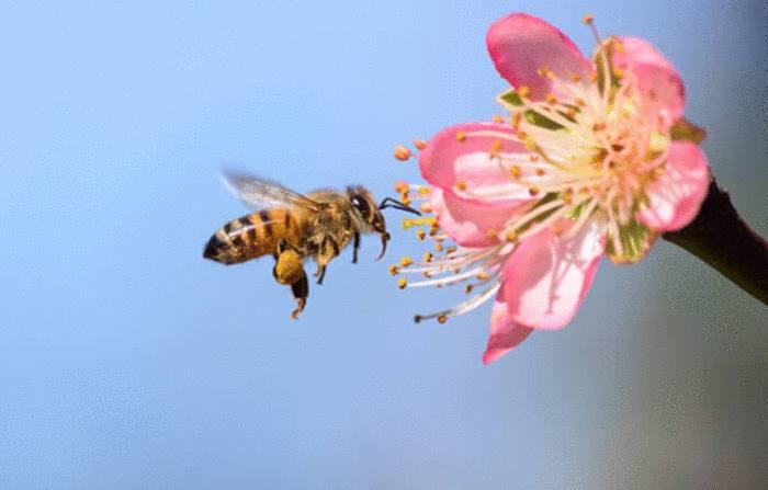 abeille et pollinisation