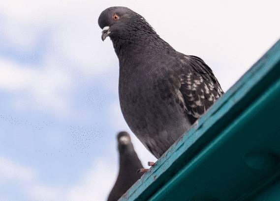 les pigeons s 39 en d barrasser tout pratique. Black Bedroom Furniture Sets. Home Design Ideas