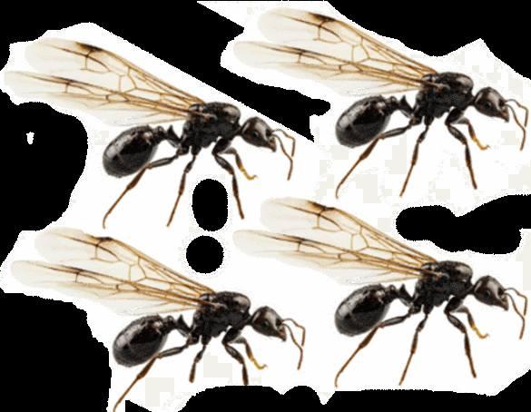comment attirer les fourmis