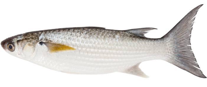 oeufs de poisson séchés