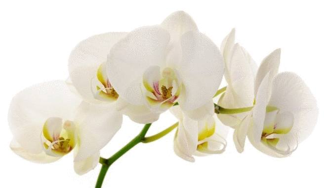 orchidee image