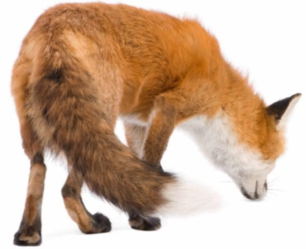 comment se débarrasser du renard
