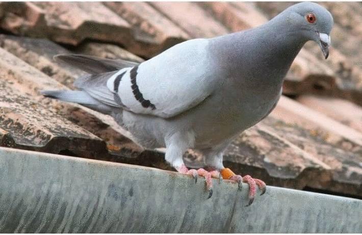 Les pigeons : s'en débarrasser