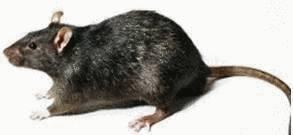 Tuer Les Souris Dans Les Maisons chasser rats et souris - tout pratique